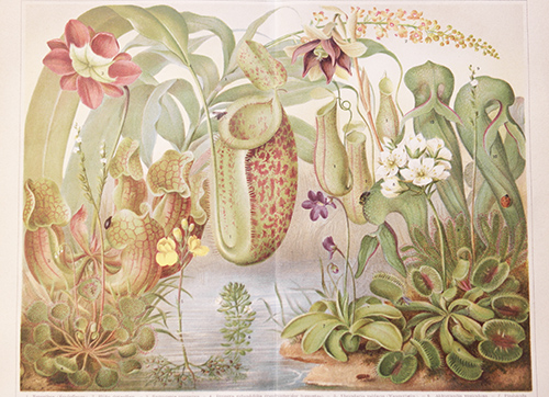 Pflanzen Lithografien
